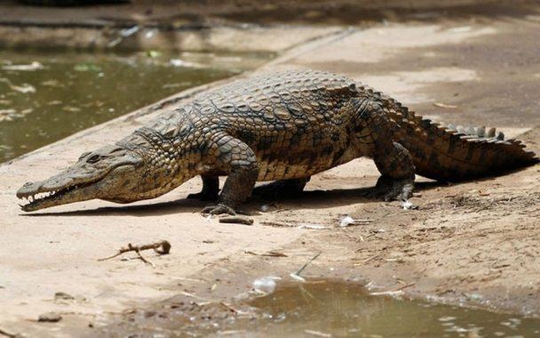 Mơ thấy cá sấu điềm báo hung hay cát