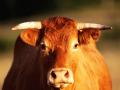 Mộng mơ thấy con bò điềm báo gì và đánh con số nào chuẩn xác