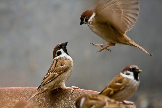 Giải mã giấc mơ thấy chim sẻ, mơ thấy chim sẻ đánh con gì