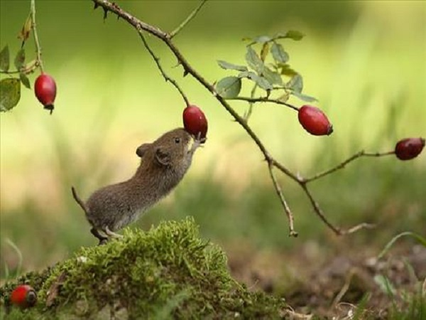 Giải mã giấc mơ con chuột ? mơ thấy con chuột là điềm gì, báo hiệu điều gì