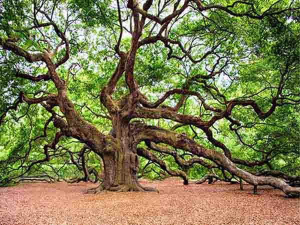 Mơ thấy cây cổ thụ - Ý nghĩa của giấc mơ thấy cây cổ thụ là gì