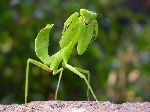 Mơ thấy bọ ngựa đánh con gì? Ý nghĩa giấc mơ thấy con bọ ngựa