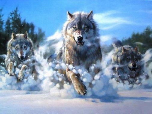 Mơ thấy sói là điềm gì, dữ hay lành, ghi con lô nào?