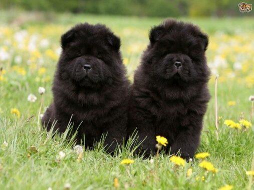 Mơ thấy chó đen là điềm báo lành hay dữ?
