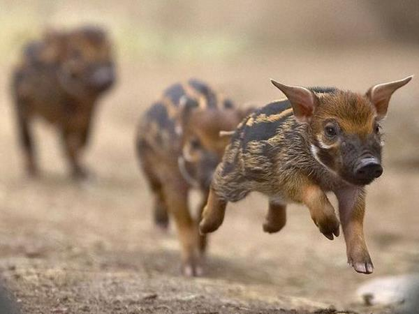 Mơ thấy lợn rừng là điềm hên hay xui? Đánh con số mấy?
