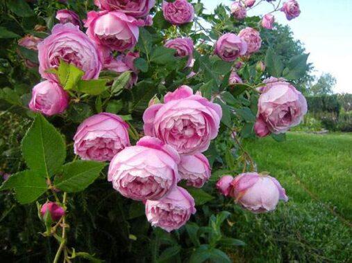 Giải mã giấc mơ thấy hoa hồng điềm báo gì? Đánh con gì chính xác?