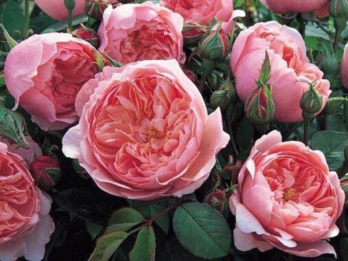 Mơ thấy hoa hồng đánh con gì?