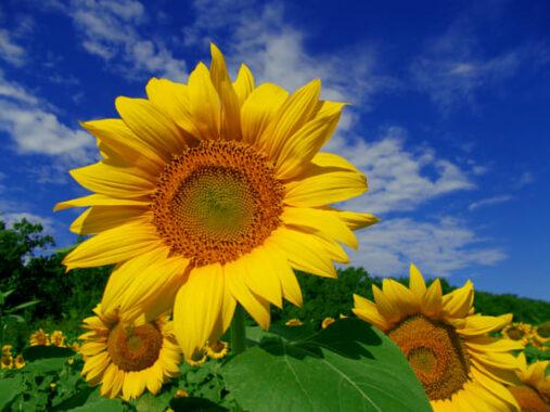 Mơ thấy hoa hướng dương đánh con gì rước tài rước lộc vào nhà?