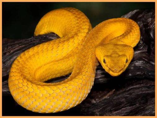 Ý nghĩa giấc mơ thấy rắn màu vàng là gì? Đánh con số mấy