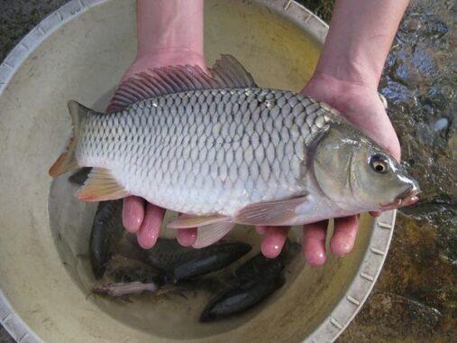 Nằm mơ thấy cá chép đánh con gì rước tài rước lộc?